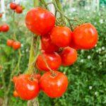 Internet: una manera de impulsar y promocionar el tomate de nuestro país